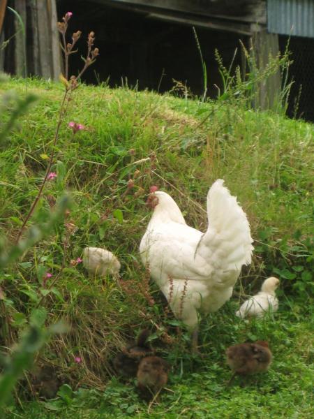 Poule et petits poussins