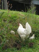 Une mère poule et ses petits